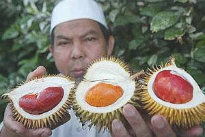 Durian orchard owner Mohd Sofi Ibrahim,51, showing off three of his unique varieties of the King of Fruits - (from left) the Alau, Anggunang and Tenom - in ... - n_pg01anggunang